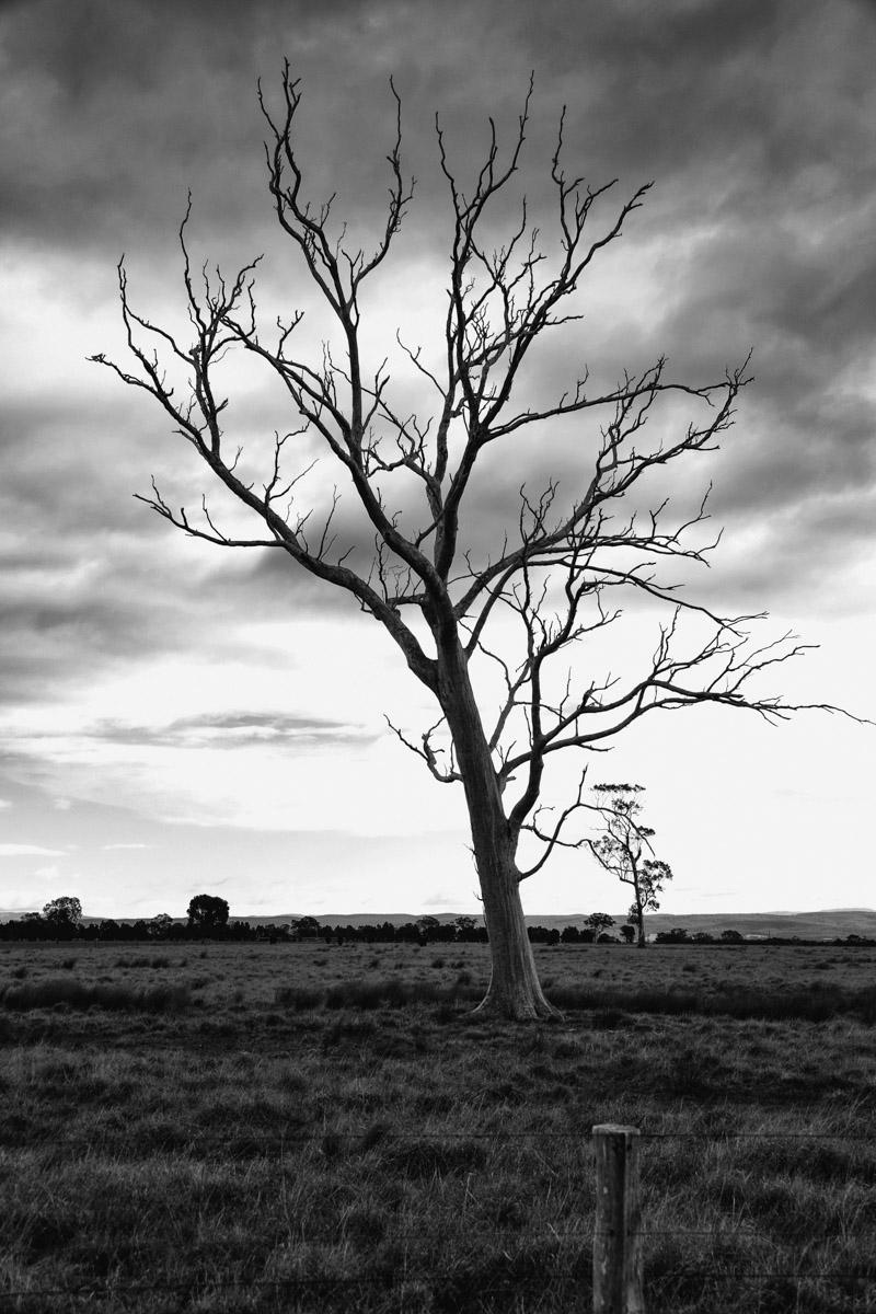 Lone Tree Bairnsdale