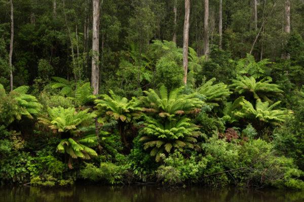 Arthur River Ferns