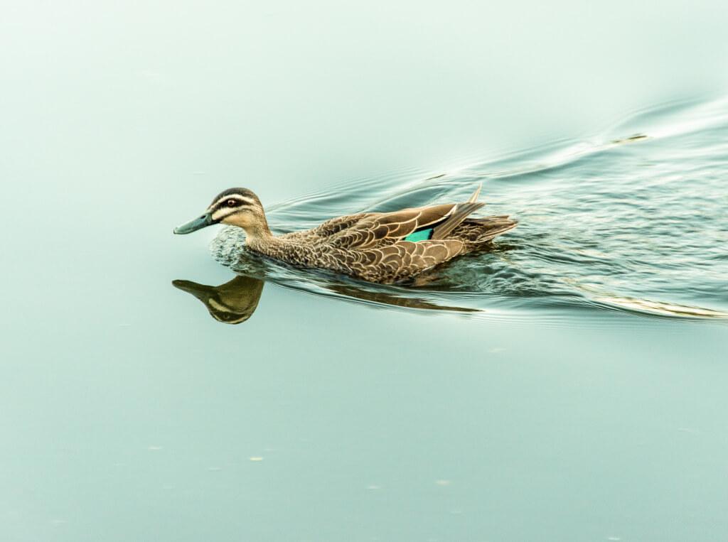 Erskin River Duck