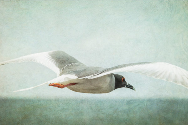Flight of the Swallow Tailed Gull