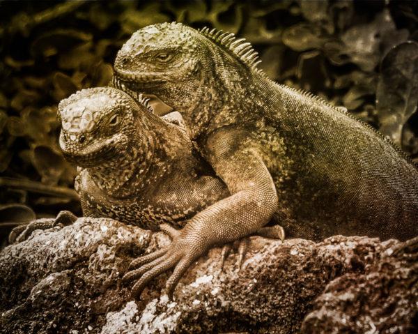 Marine Iguanas Galapogos