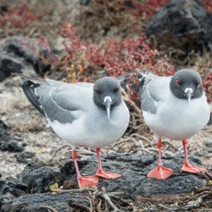Pair of Swallow Tailed Gulls Galapagos
